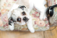 Cute Shih Tzu looking up Royalty Free Stock Photography