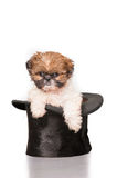 Adorable Shih Tzu puppy in top hat Stock Photo