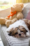 Cute shih tzu puppy is crouching Royalty Free Stock Photo