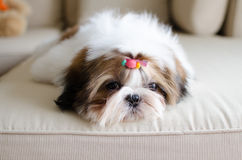 Cute shih tzu puppy is crouching Stock Image