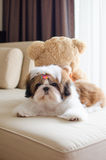Cute shih tzu puppy is crouching Stock Photography