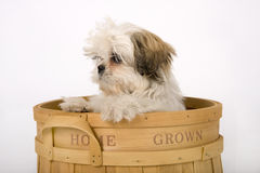 Cute Shih Tzu puppy dog Royalty Free Stock Photo