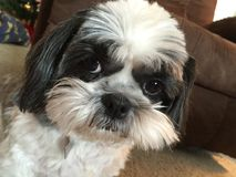 Cute Shih Tzu puppy looks at camera Stock Photo