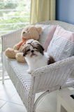 Cute shih tzu puppy is sitting Stock Image
