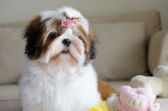 Cute shih tzu puppy is sitting Royalty Free Stock Images