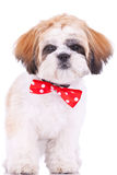 Cute shih tzu puppy standing Royalty Free Stock Photos