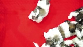 Cute shih tzu pups playing inside a cage on display for sale red background top view stock footage