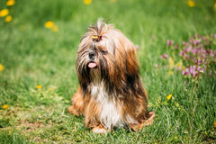 Cute Shih Tzu Toy Dog Sit In Green Spring Meadow. Playful Pet Ou Stock Images
