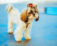Cute Shih Tzu White Toy Dog Royalty Free Stock Photo