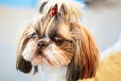 Cute Shih Tzu White Toy Dog. Close Up Cute Shih Tzu White Toy Dog stock photo