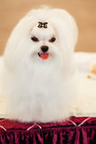 Cute Shih Tzu White Toy Dog. Indoors stock images
