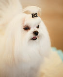 Cute Shih Tzu White Toy Dog Royalty Free Stock Photos