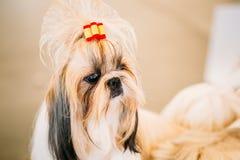 Cute Shih Tzu White Toy Dog Stock Image