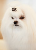 Cute Shih Tzu White Toy Dog. Indoors royalty free stock photos