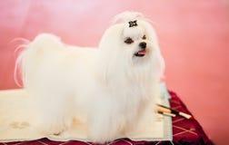 Cute Shih Tzu White Toy Dog Stock Photos