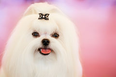 Cute Shih Tzu White Toy Dog. Indoors On Pink Background stock photography
