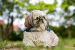 Cute Shih Tzu Young. Dog royalty free stock photo