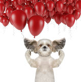 Cute shitzu dog with balloon Royalty Free Stock Image