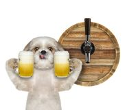 Cute shitzu dog with a glass of beer and barrel. isolated on white stock photos