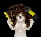 Cute shitzu dog in spa grooming salon. Isolated on black royalty free stock photo