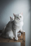 Cat sitting and looking on old wood shelf. Cute short hair cat sitting and looking on old wood shelf stock photos