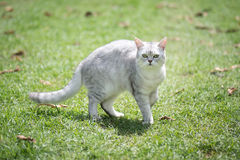 Cat walking on green gras royalty free stock photo