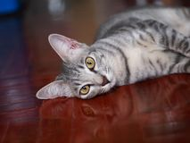 Cute short hair young asian kitten grey and black stripes. Home cat relaxing lazy on wooden floor portrait shot selective focus blur background stock photos