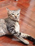 Cute short hair young asian kitten grey and black stripes. Home cat relaxing lazy on wooden floor portrait shot selective focus blur background royalty free stock images