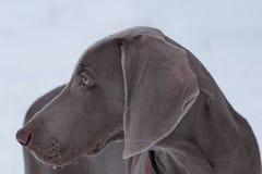 Cute short-haired weimaraner vorstehhund close up. Pet animals stock image