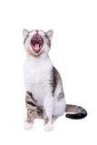 Cute shorthair cat yawning and sitting on white background. Cute sleepy cat yawning with big mouth, sitting on white background stock photo