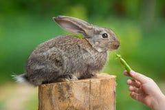 Cute Shy Baby Rabbit. Feeding animal Royalty Free Stock Images