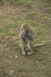 Cute Shy of monkeey Royalty Free Stock Image