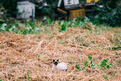 Cute Siamese Cat Kitten Sit In Dry Grass Outdoor At Autumn Evening Stock Photography
