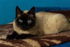 Cute siamese cat portrait with blue eyes stock photos