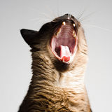Cute Siamese cat yawning Stock Image