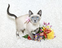 Cute Siamese Kitten Stock Photography