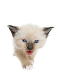 Cute Siamese kitten Stock Photo