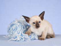 Cute Siamese kitten with ball of yarn. Seal point Siamese kitten on blue background, with ball of yarn royalty free stock photography