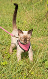 Cute Siamese kitten in a pink harness and leash Royalty Free Stock Photos