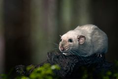 Cute siamese rat on a tree trunk. Cute rat sit on a tree trunk in the forest and look sideways Stock Photography