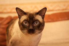 Cute siamese thai cat Stock Images