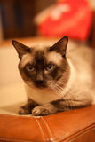 Cute siamese thai cat Royalty Free Stock Photography