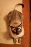 Cute siamese thai cat Stock Photos