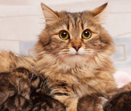 Cute siberian cat Royalty Free Stock Image