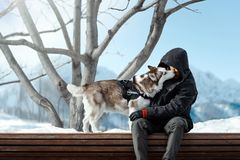 Cute Siberian Husky dog licking Man highly in mountains on sunny winter day. Cute Siberian Husky dog licking Man and sitting on bench highly in mountains on royalty free stock images