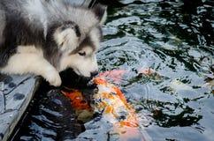 Cute siberian husky kiss carp Royalty Free Stock Photography