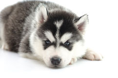Cute siberian husky laying and looking up Royalty Free Stock Photos