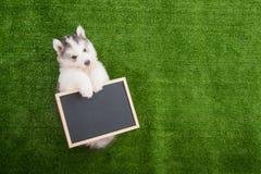 Cute siberian husky lying and holding blackboard Stock Photos
