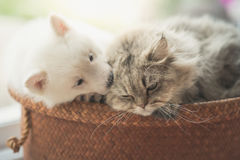 Cute siberian husky and persian cat lying. In basket bed Royalty Free Stock Image