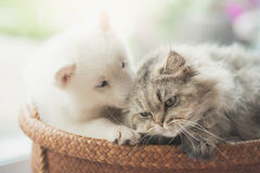 Cute siberian husky and persian cat lying. In basket bed Stock Photo